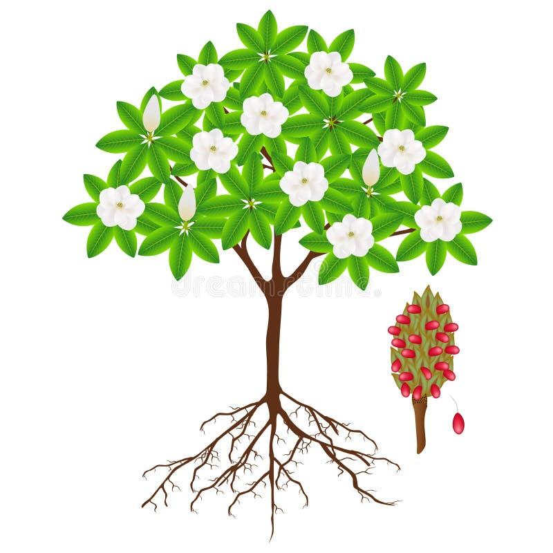 Partes de un árbol grandiflora de la magnolia en un fondo blanco ilustración del vector