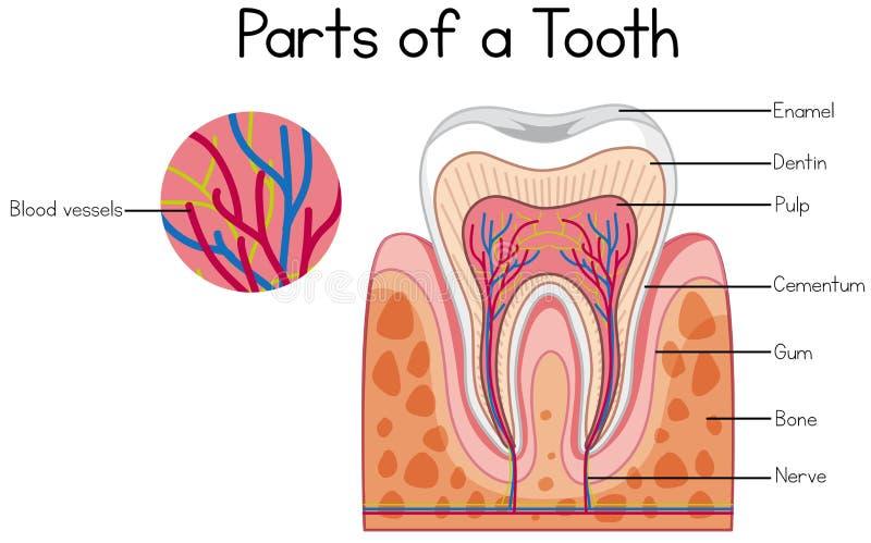 Partes de un diagrama del diente ilustración del vector
