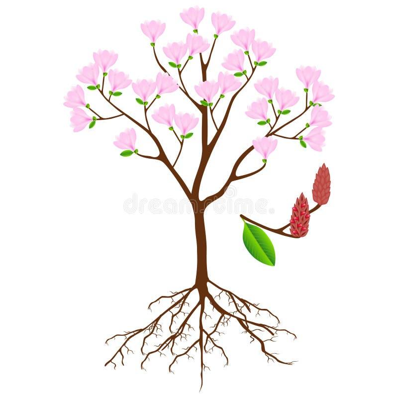 Partes del árbol rosado de la magnolia en un fondo blanco libre illustration