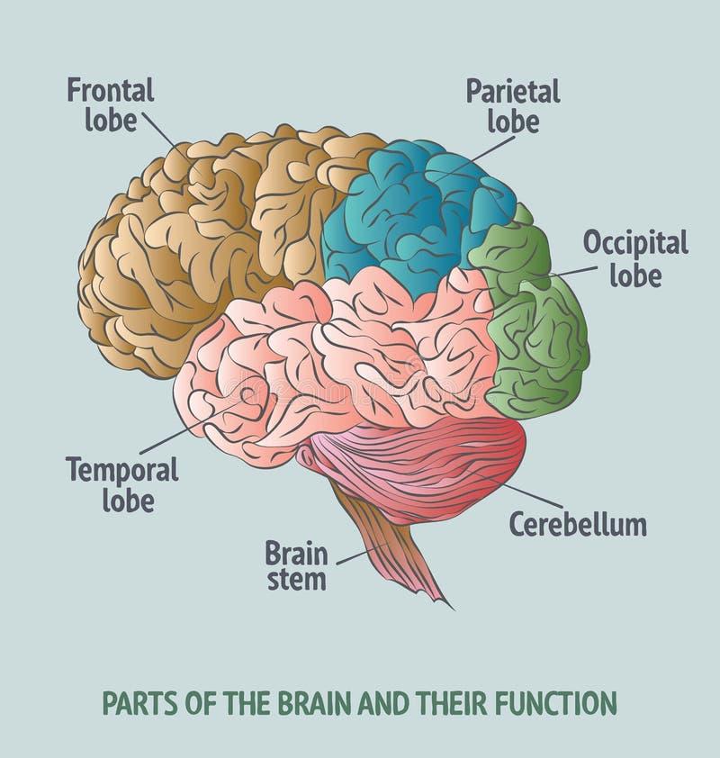 Partes del cerebro humano ilustración del vector. Ilustración de ...