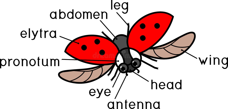 Partes del cuerpo de la mariquita del vuelo con títulos Estructura externa del insecto libre illustration