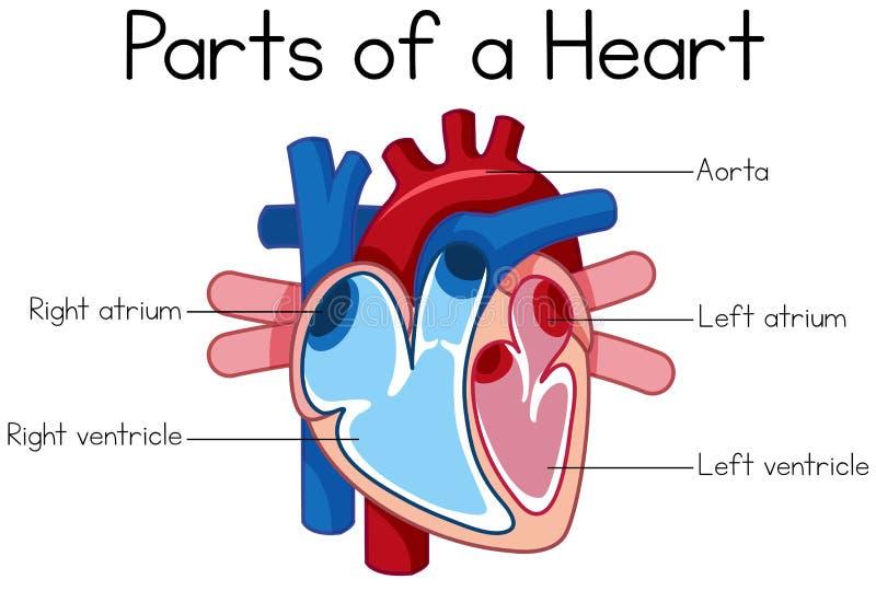 Partes del diagrama del corazón ilustración del vector