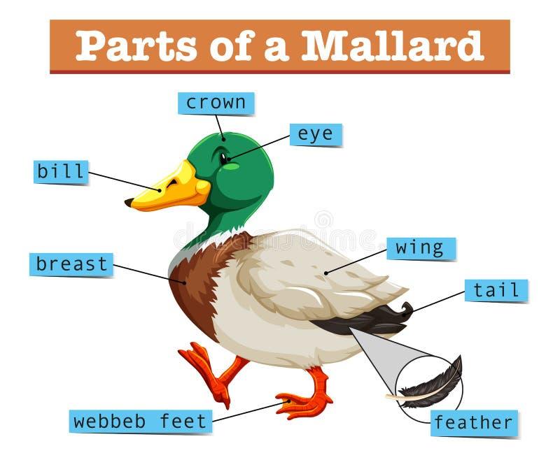 Partes diferentes do pato selvagem ilustração stock