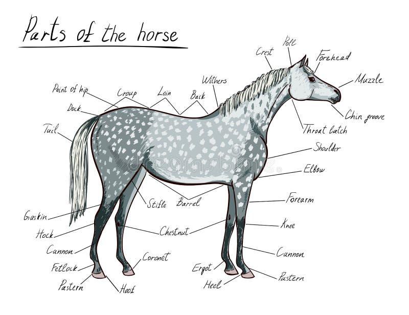 Partes do cavalo Anatomia equino Esquema equestre com texto ilustração stock