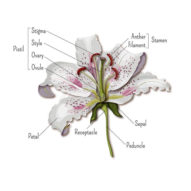 Partes do infographics da flor Anatomia da flor do lírio Ciência para miúdos ilustração royalty free