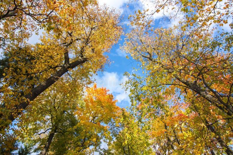 Partes superiores da árvore na folha do outono imagem de stock