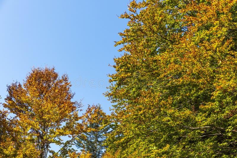 Partes superiores das árvores nas madeiras durante o outono fotografia de stock
