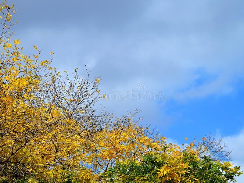 Partes superiores de árvores do outono com as folhas do amarelo e do verde e igualmente sem folhas contra um céu cinzento-azul do foto de stock royalty free