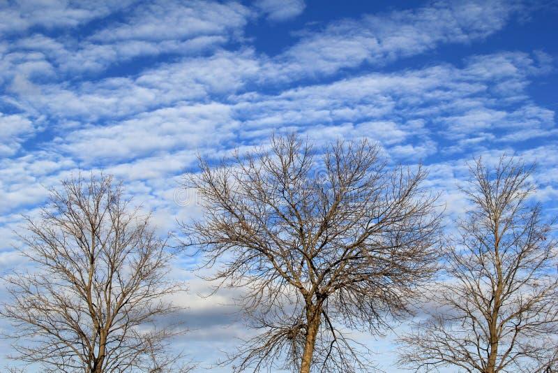 Partes superiores de três árvores desencapadas contra céus azuis brilhantes fotografia de stock royalty free