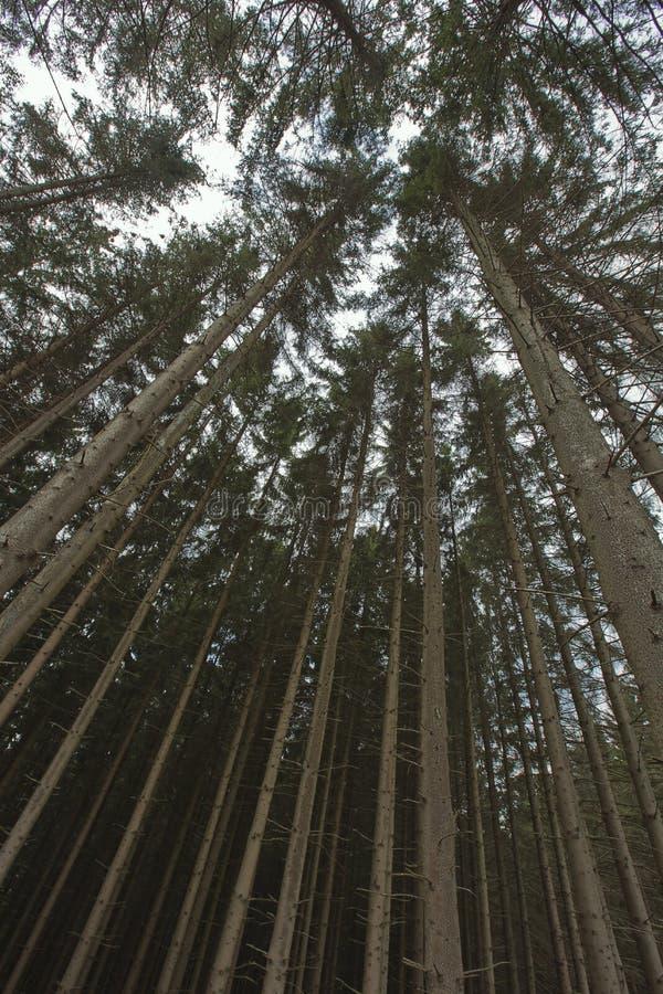 Partes superiores do pinheiro em Odeigne fotos de stock royalty free