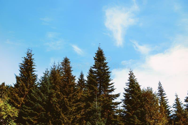 Partes superiores dos abetos no céu azul Coroas das árvores conifer fotografia de stock royalty free