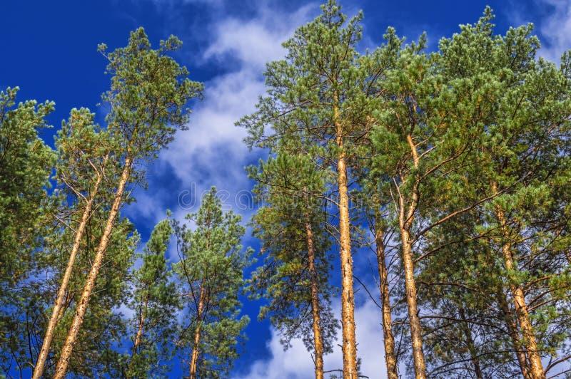 Partes superiores dos pinhos contra o céu azul Coroas de árvores coníferas em um dia claro contra o céu ensolarado claro imagens de stock