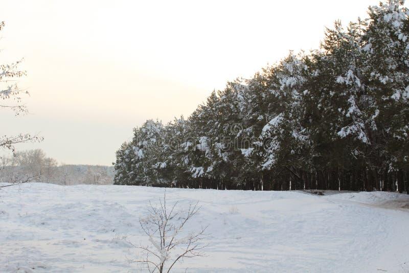 Partes superiores e coroas das árvores cobertas com a neve contra o céu azul fotos de stock