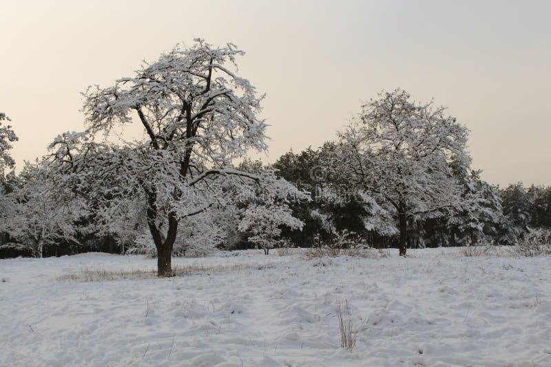 Partes superiores e coroas das árvores cobertas com a neve contra o céu azul imagem de stock royalty free
