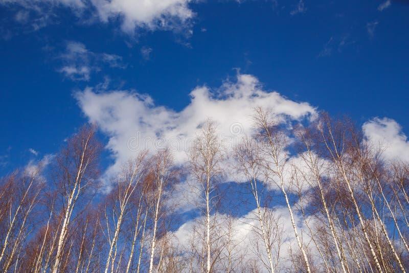 Partes superiores novas do vidoeiro contra o céu azul imagem de stock royalty free