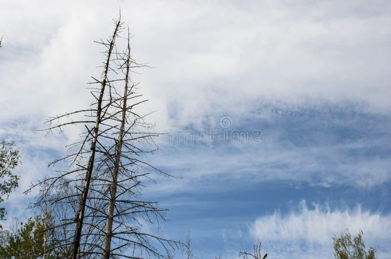 Partes superiores secas das árvores na perspectiva das nuvens bonitas e do céu azul imagem de stock