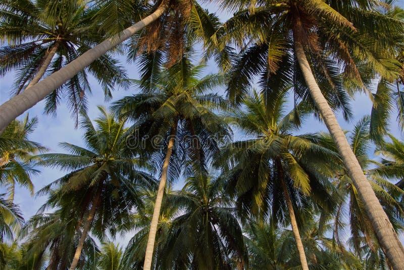 Partes superiores tropicais da palmeira na luz do por do sol imagem de stock