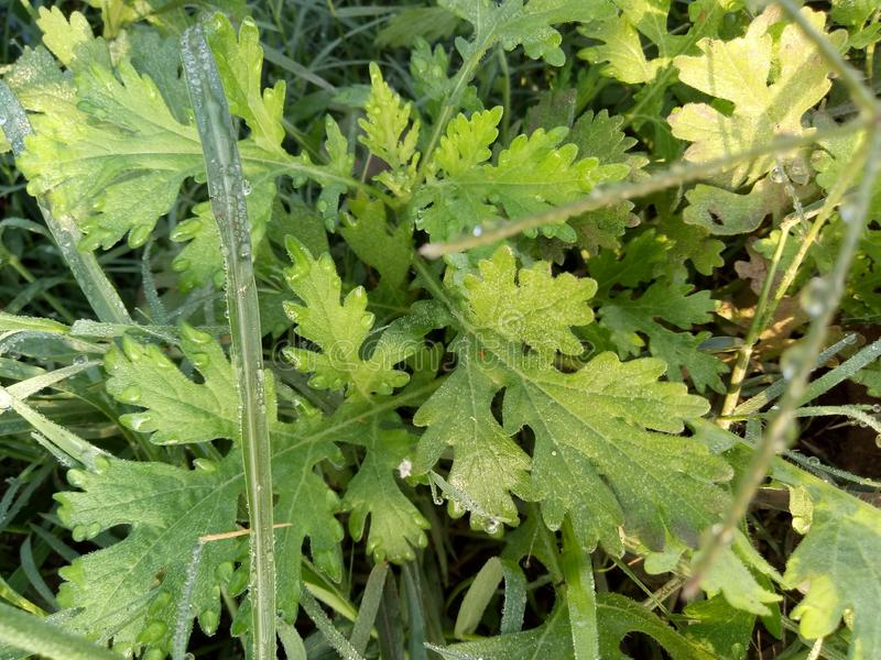 Parthenium Hysterophorus & x28; Parthenium Weed& x29; royalty-vrije stock foto