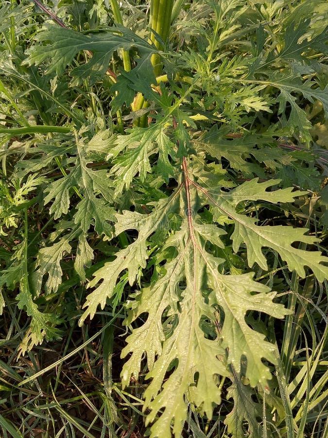 Parthenium Hysterophorus y x28; Parthenium Weed& x29; fotografía de archivo libre de regalías