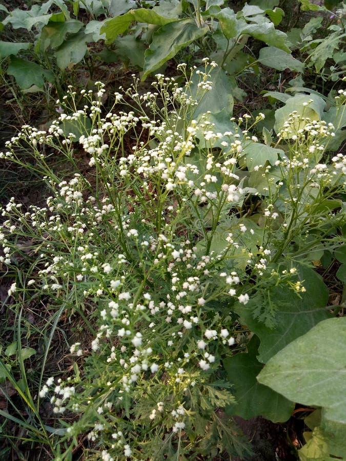 Parthenium Hysterophorus y x28; Parthenium Weed& x29; imagenes de archivo
