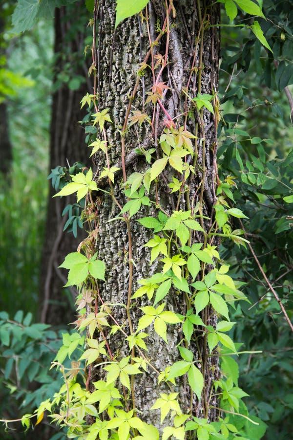 Parthenocissus Quinquefolia imagens de stock