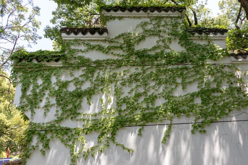 Parthenocissus tricuspidata obraz royalty free