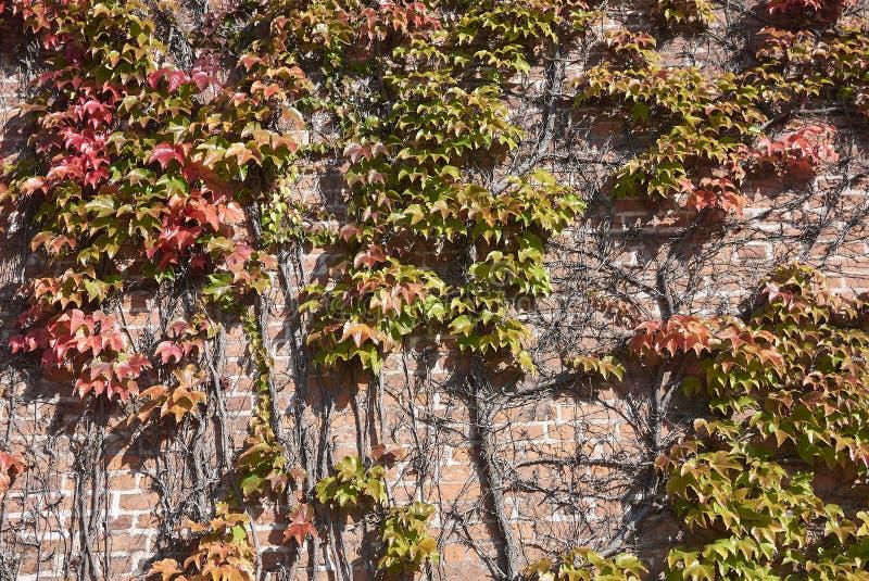 Parthenocissus tricuspidata arywista obrazy stock
