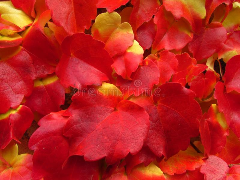 Parthenocissus tricuspidata in fall, vivid red and yellow colors, natural texture, close-up, boston ivy, grape ivy. Parthenocissus tricuspidata in fall, vivid royalty free stock photos