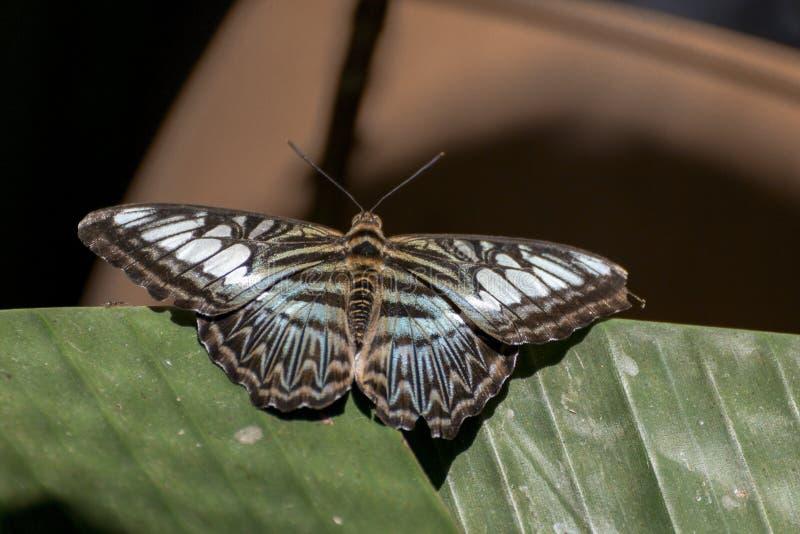 Parthenos sylvia бабочки клипера стоковое фото rf