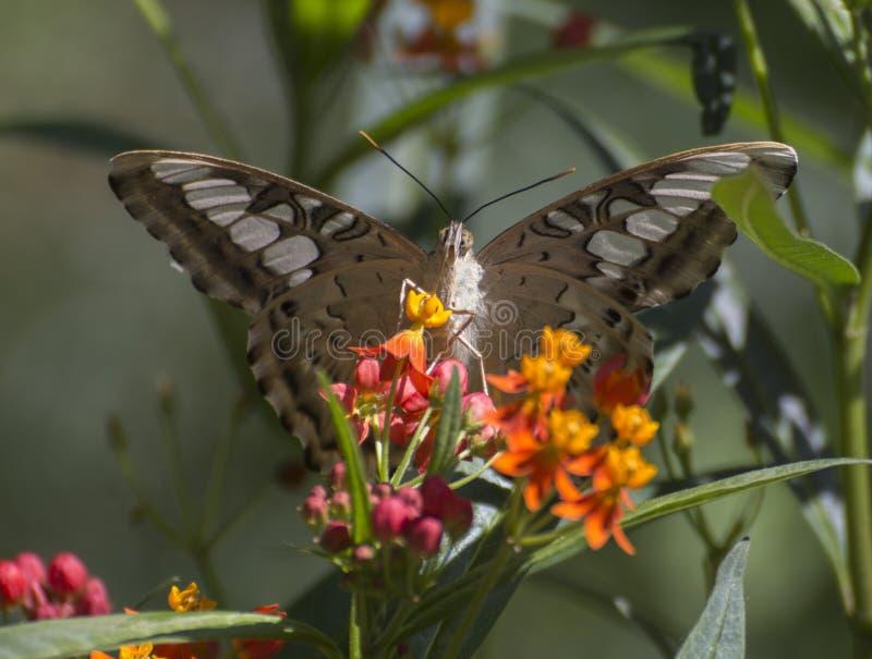 Parthenos sylvia бабочки клипера стоковая фотография rf