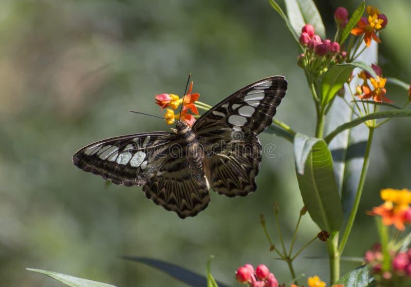 Parthenos sylvia бабочки клипера стоковые изображения rf