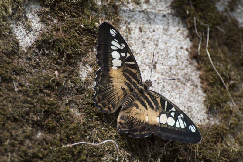 Parthenos sylvia бабочки клипера стоковые фотографии rf