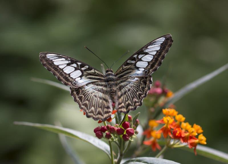 Parthenos sylvia бабочки клипера стоковые фото