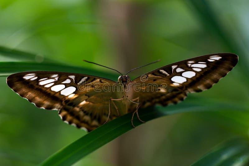 parthenos sylvia бабочки стоковые фотографии rf