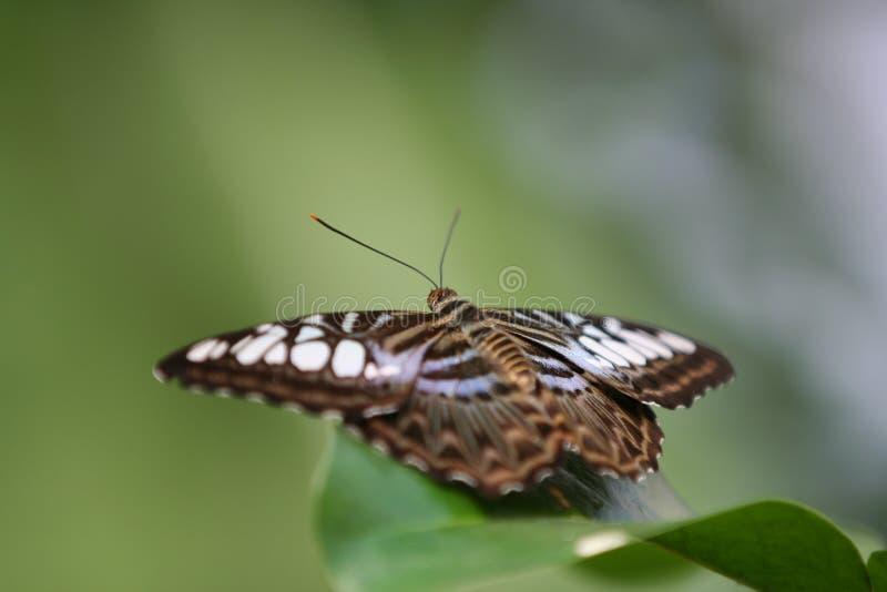 parthenos sylvia клипера бабочки стоковое изображение