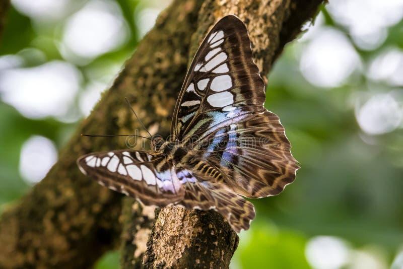 Parthenos sylvia, коричневый клипер, вид бабочки nymphalid стоковая фотография rf