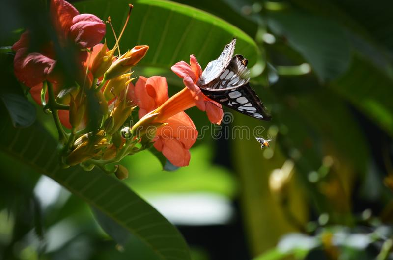 Parthenos Sylvia Butterfly on orange Adenium flower stock photos
