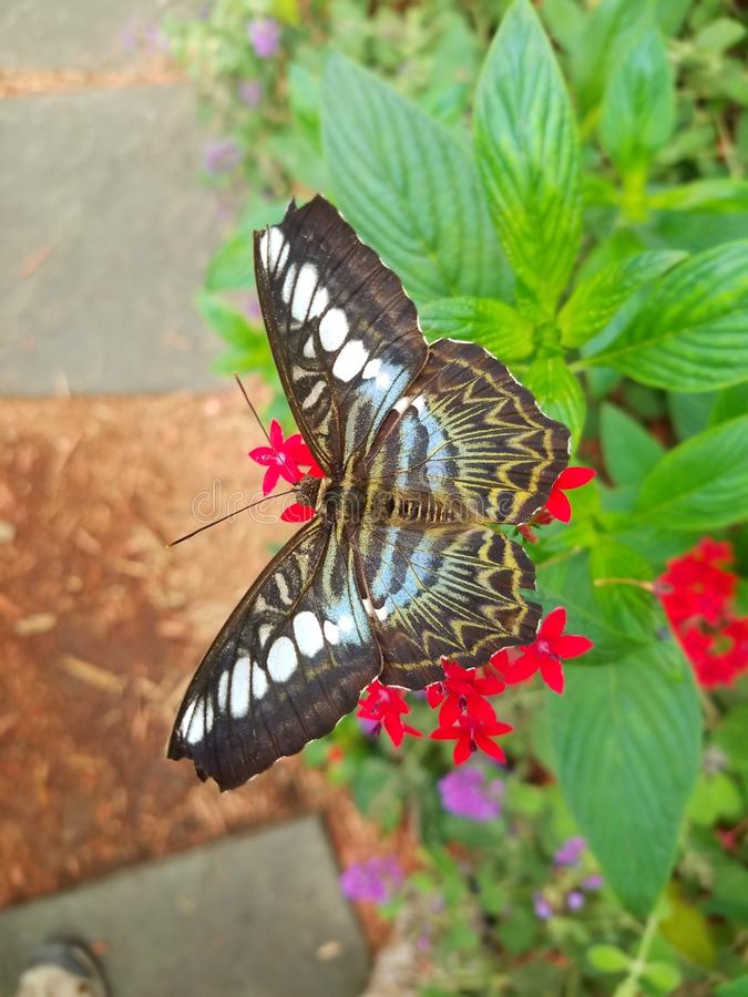 Parthenos sylvia, clipper, butterfly found in Southeast Asia. stock photo