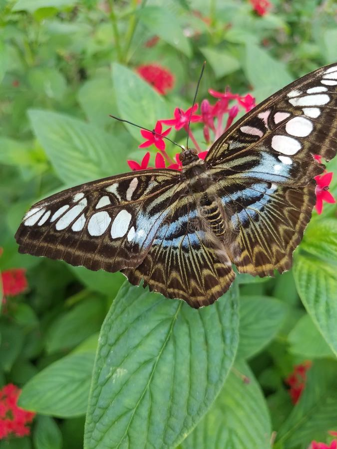 Parthenos sylvia , Clipper butterfly from Southeast Asia royalty free stock images