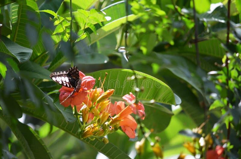 Parthenos Sylvia motyl ssa nektar od pomarańczowego Adenium kwiatu zdjęcia stock