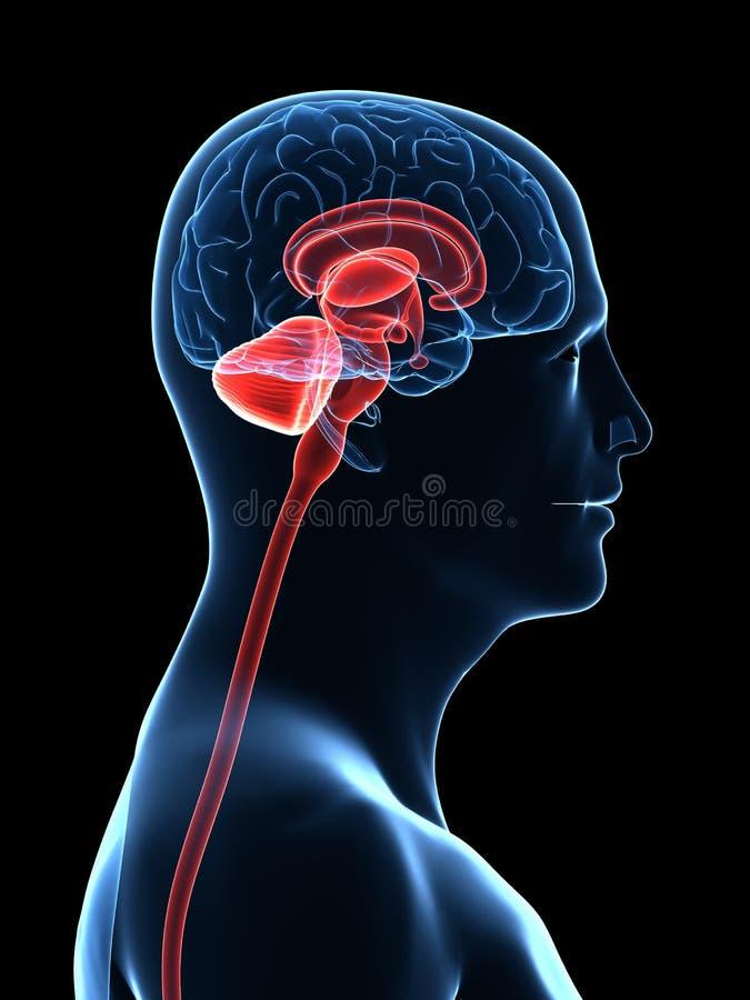Parti del cervello umano royalty illustrazione gratis