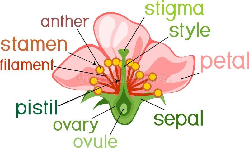 Parti del fiore con i titoli Sezione trasversale del fiore tipico dell'angiosperma illustrazione vettoriale