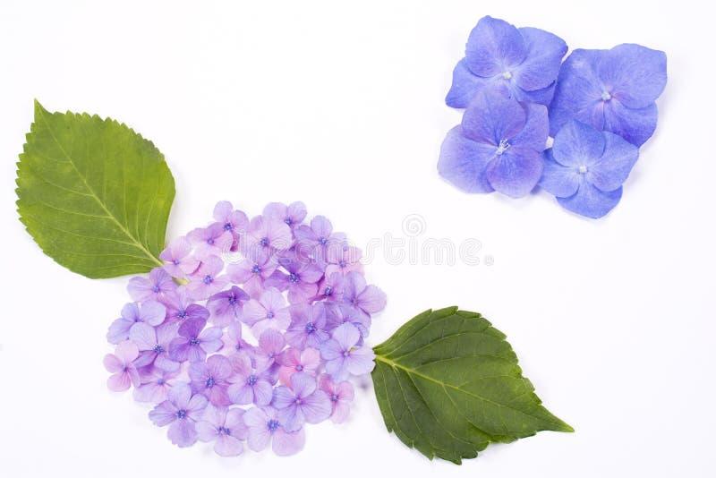 Parti del fiore dell 39 ortensia fotografia stock immagine for Colore ortensia