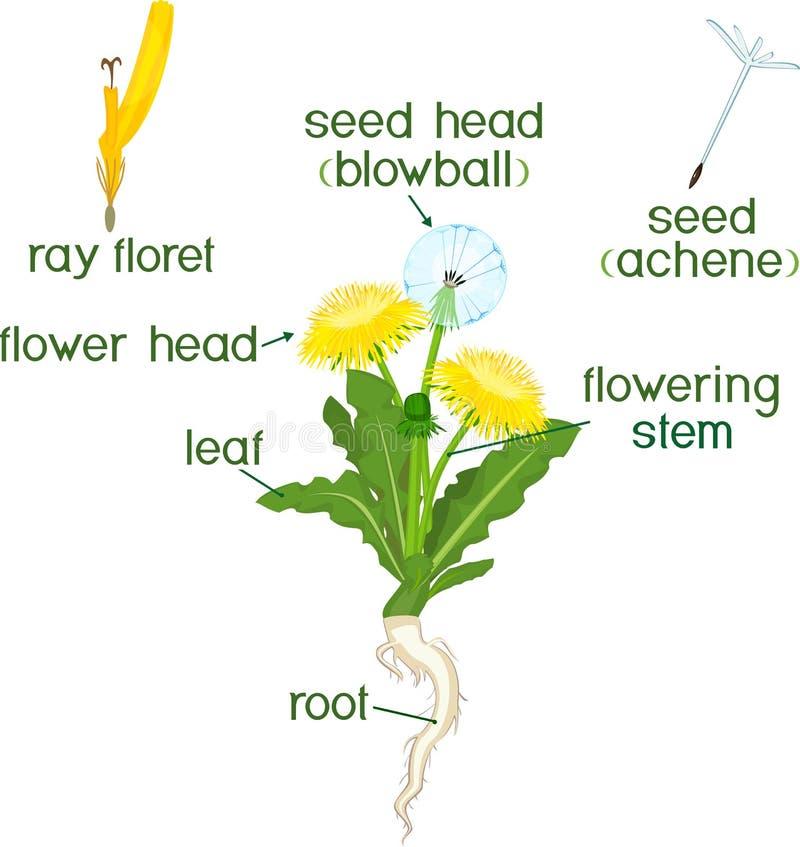 Parti della pianta Morfologia del dente di leone con le foglie, i fiori, la radice ed i titoli illustrazione di stock