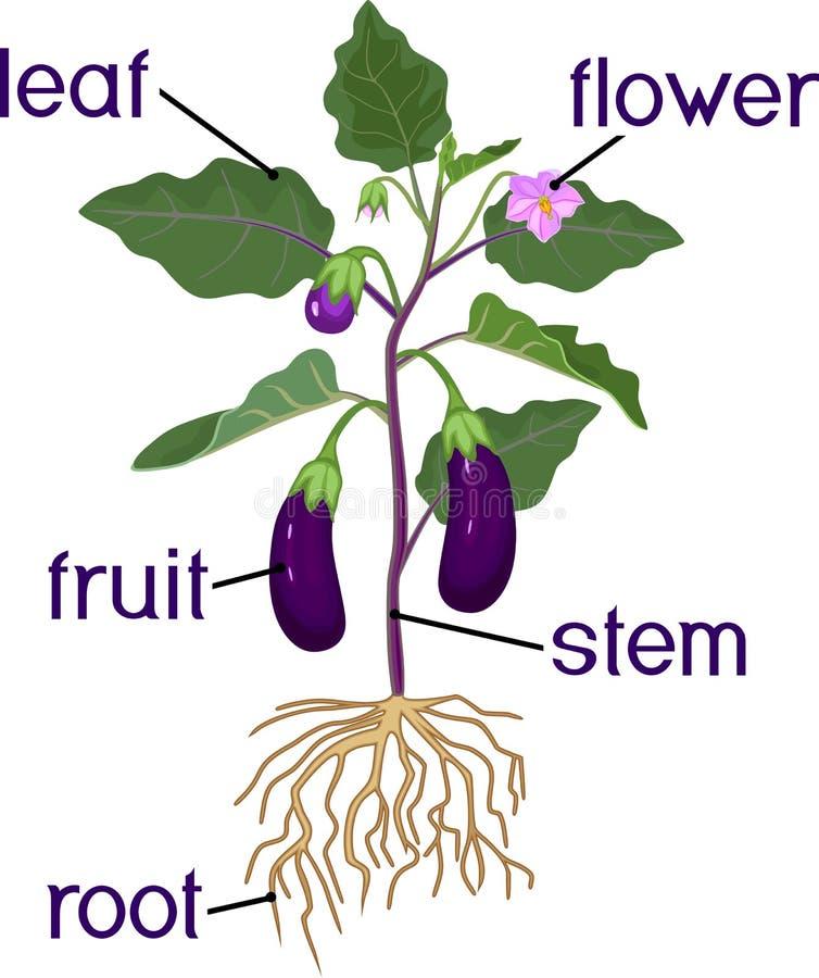 Parti della pianta Morfologia di melanzana royalty illustrazione gratis