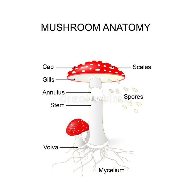 Parti di un fungo Amanita royalty illustrazione gratis