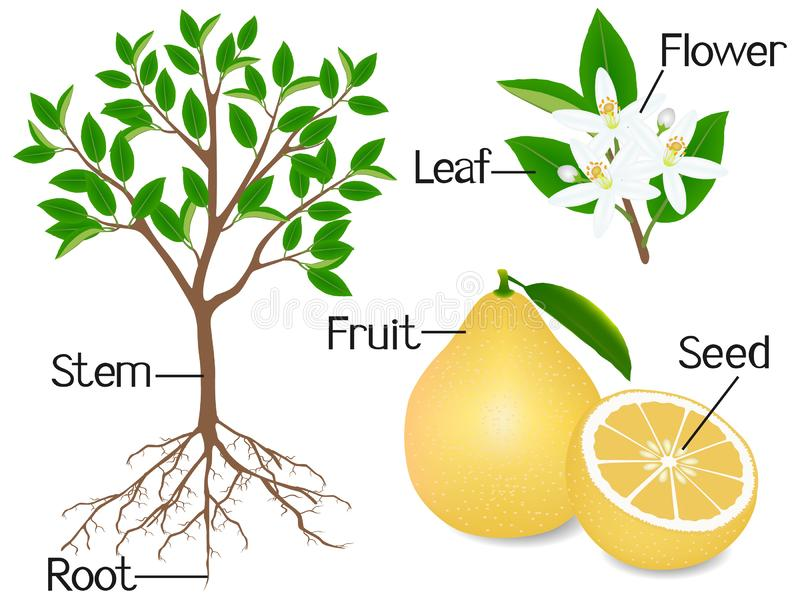 Parti di una pianta del pomelo su un fondo bianco royalty illustrazione gratis