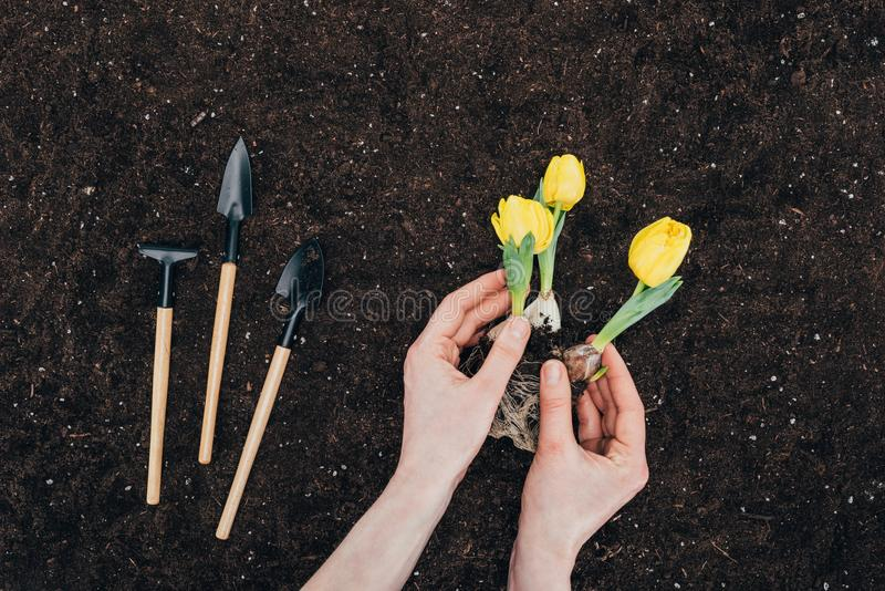Partial view of person planting beautiful green flowers in soil and small gardening tools stock photos