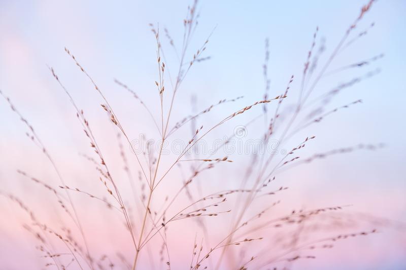 Partially Cloudy Pastel Pink and Purple Dusk Light with Blue Sky. Over Wild Grasses royalty free stock image