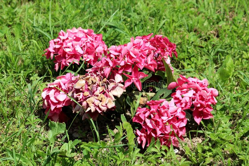 Partially dried Hydrangea or Hortensia garden shrub pink flowers with pointy petals surrounded with uncut grass planted in local stock image